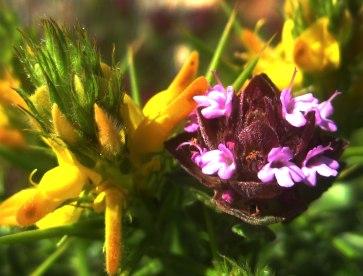 Blütenmeer an der Algarve
